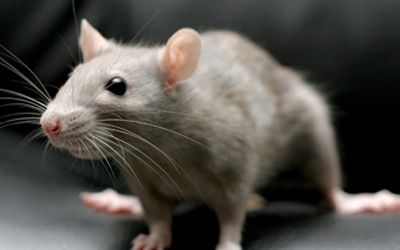 mice and rat rodent control